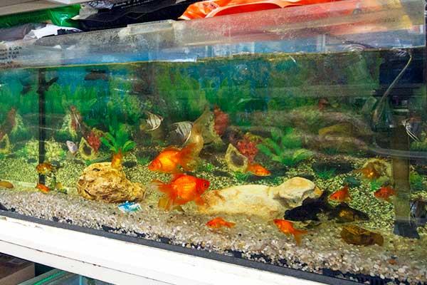 peixes-ornamentais
